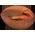 Pacanier => Noix de Pécan Roastp11