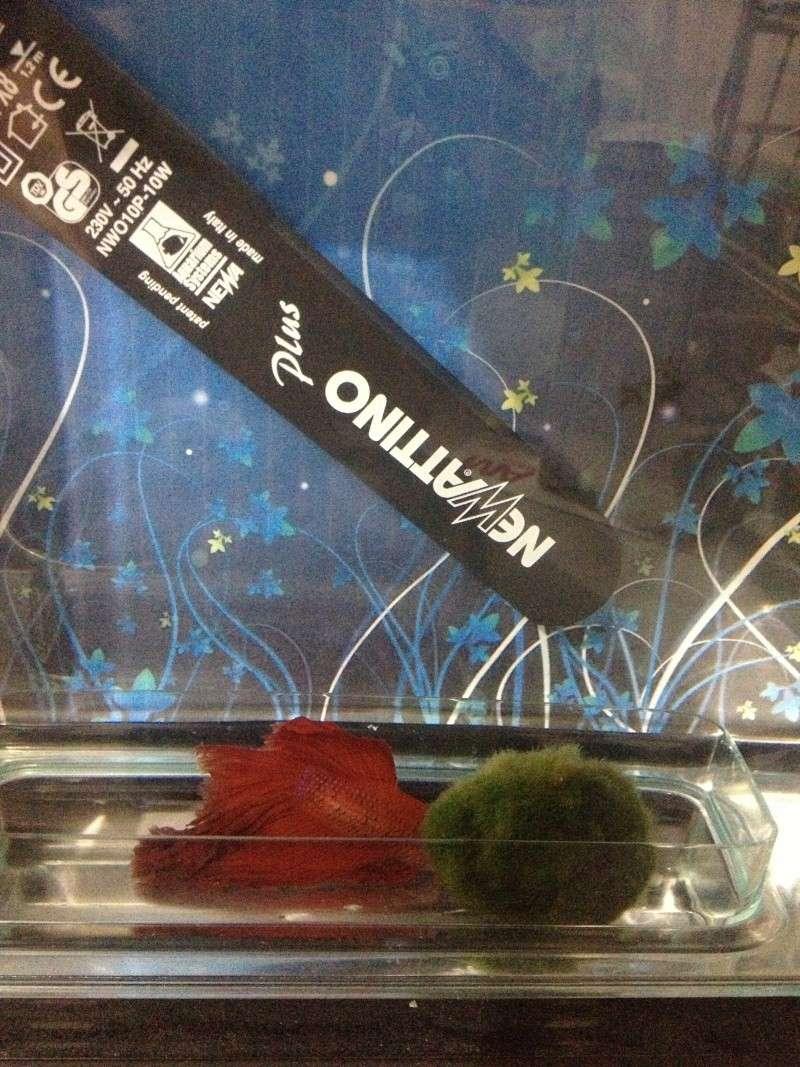 Betta au fond de l'aquarium Photo10