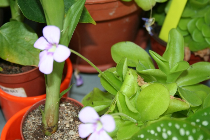 une belle carnivore , le pinguicula - Page 2 Img_5618