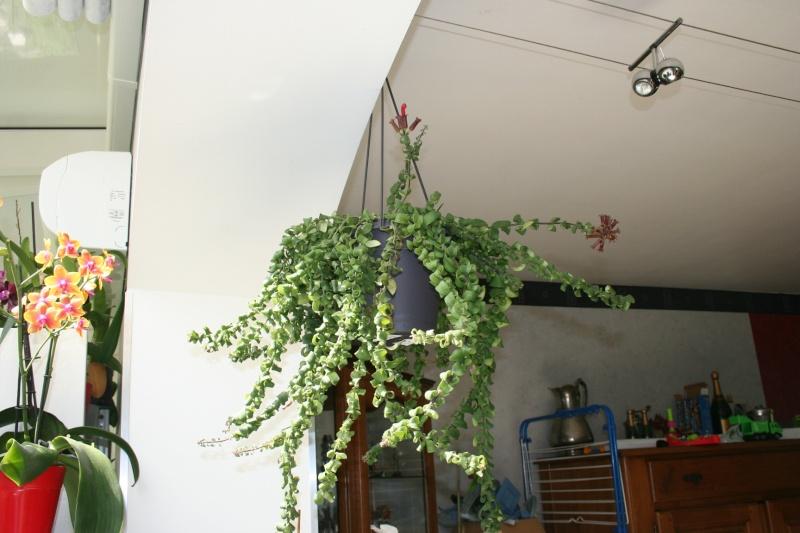 aeschynanthus scoubidou Img_5750