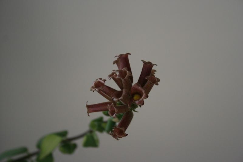 aeschynanthus scoubidou Img_5752
