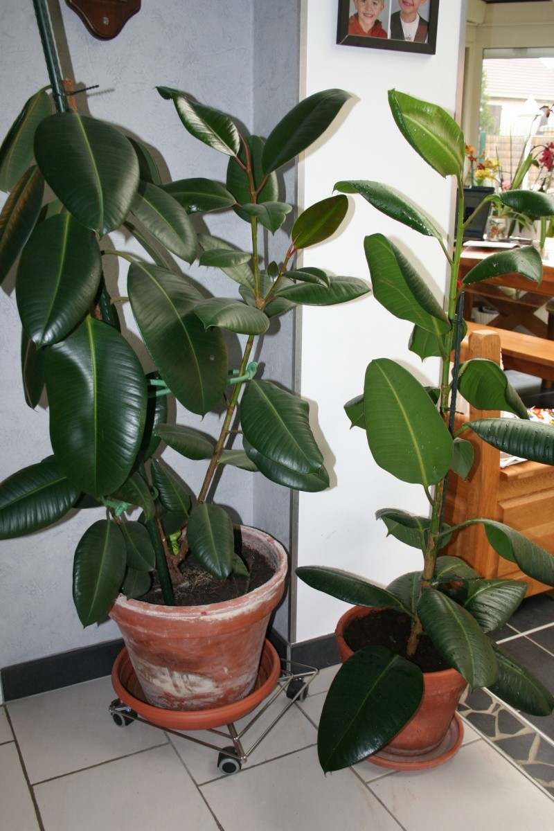 ficus elasctica - Page 3 Img_5813