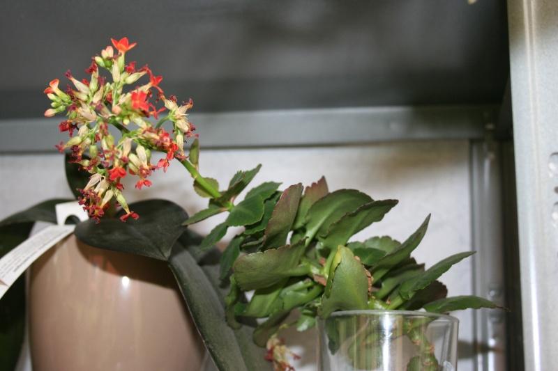 Kalanchoe en suspension en fleurs en ce moment Img_5816
