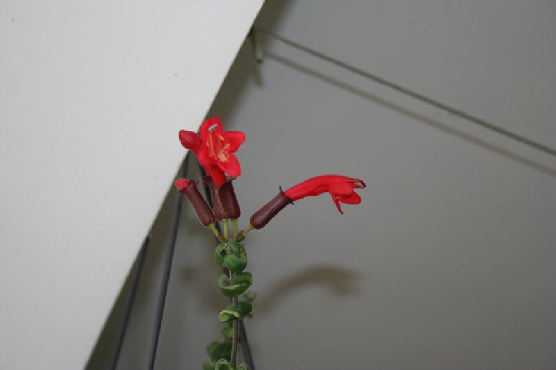 aeschynanthus scoubidou Img_5827