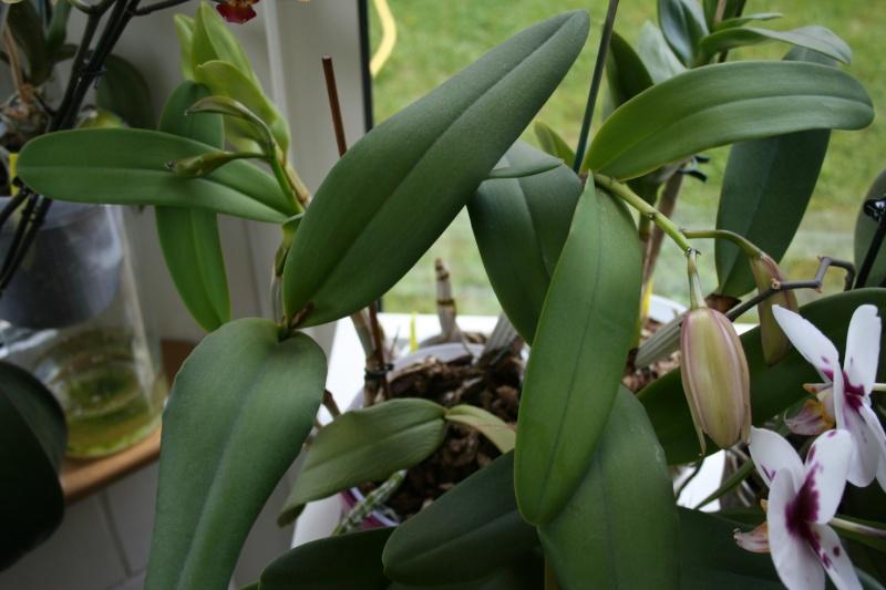 cattleya intermedia Laelia purpurata Img_5833