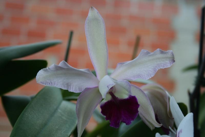 cattleya intermedia Laelia purpurata Img_5839