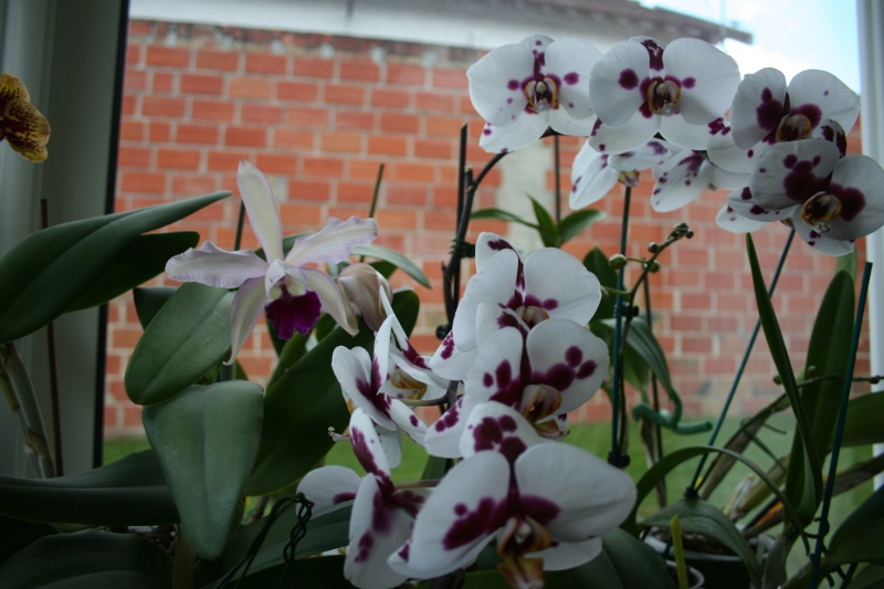 cattleya intermedia Laelia purpurata Img_5840