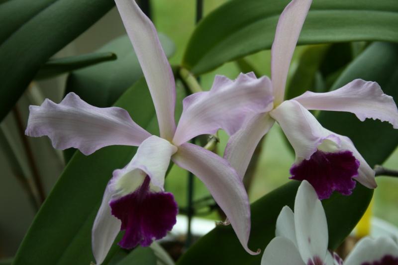 cattleya intermedia Laelia purpurata Img_5910
