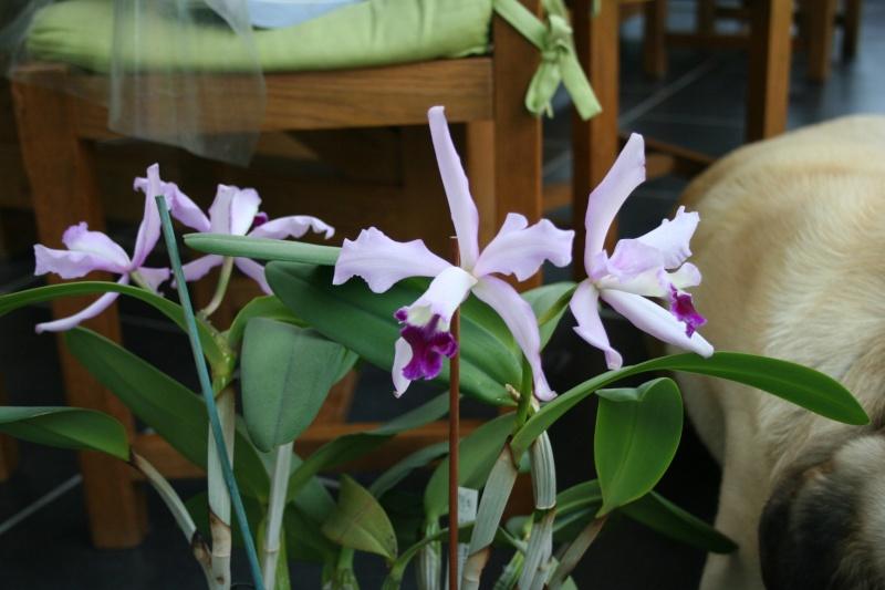 cattleya intermedia Laelia purpurata - Page 2 Img_6052