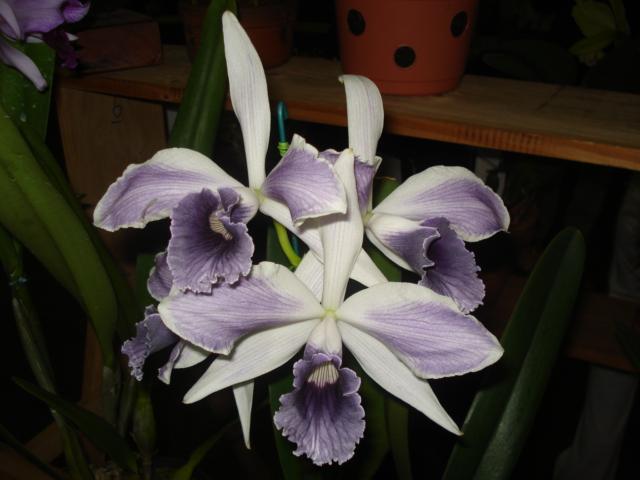 Cattleya (Laelia) purpurata fma. coerulea (ardosia) 42884210