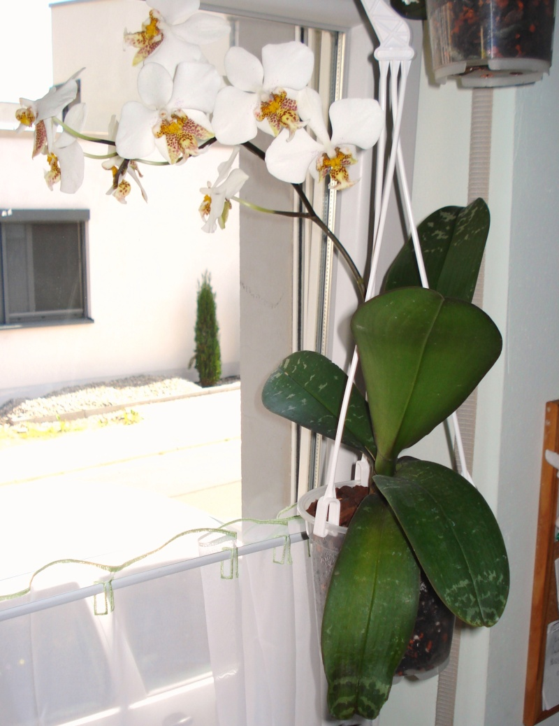 Phalaenopsis stuartiana Dsc08010