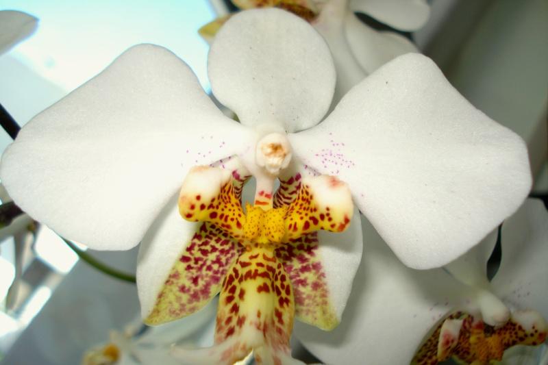 Phalaenopsis stuartiana Dsc08011