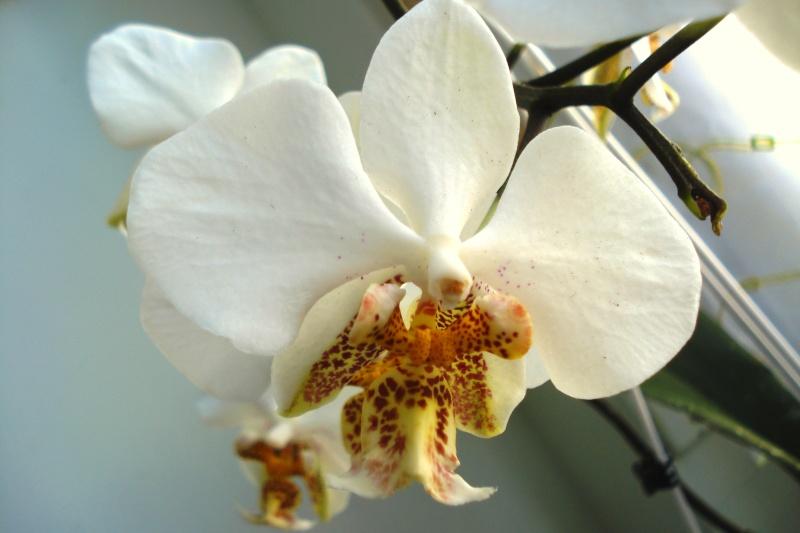 Phalaenopsis stuartiana Dsc08013