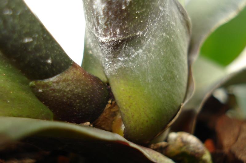 Phalaenopsis stuartiana Dsc08014