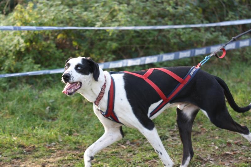 Vos chiens et leurs harnais! Photo  Bischw10