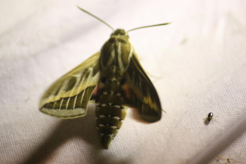 Ma passion de l'entomologie. 624a2526