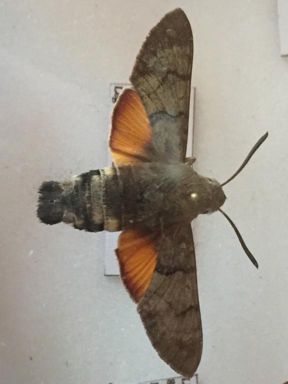 Ma passion de l'entomologie. Img_4712
