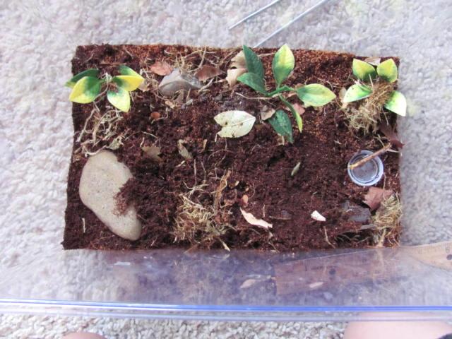 New Scolopendra Polymorpha!!!! Img_2010