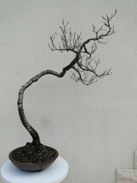 la passion du bonsai - Page 5 17_20210