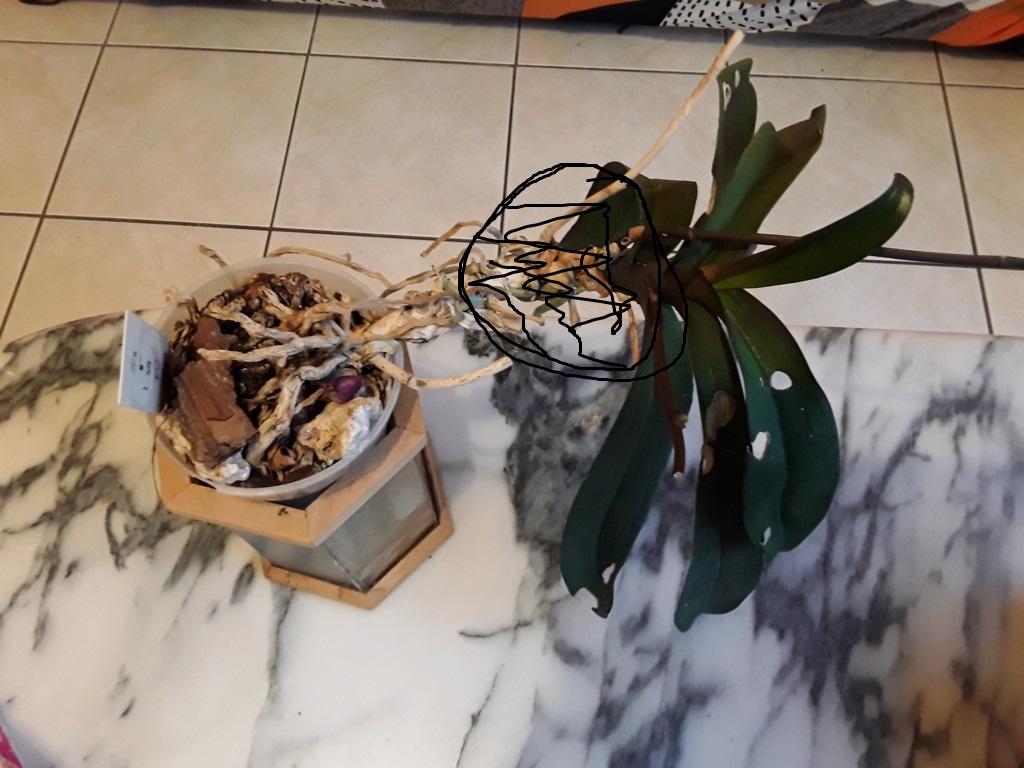 Phalaenopsis - Page 39 20200110
