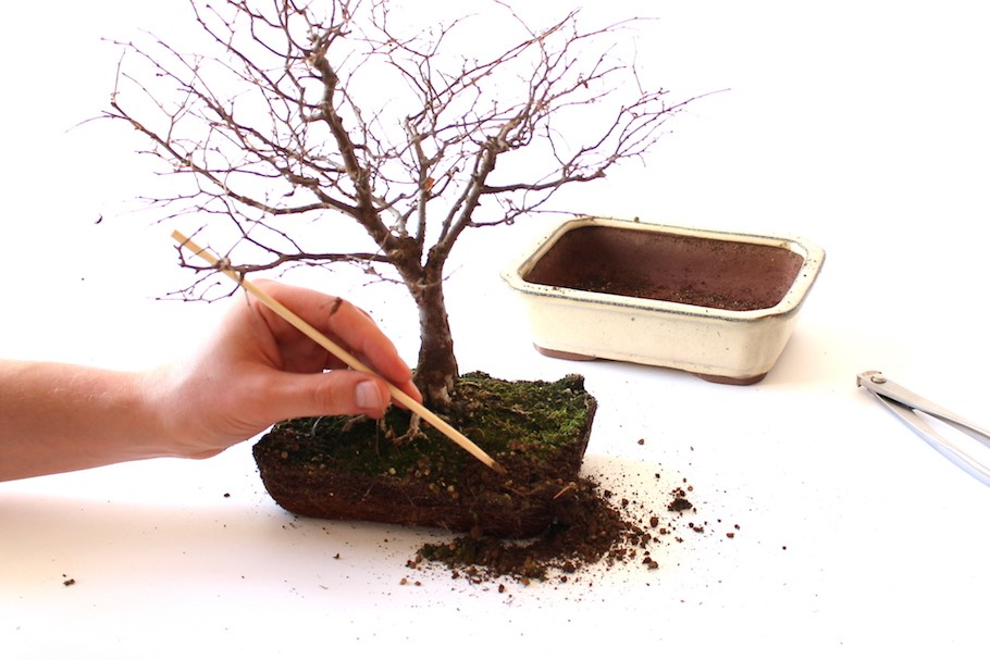 la passion du bonsai - Page 38 411