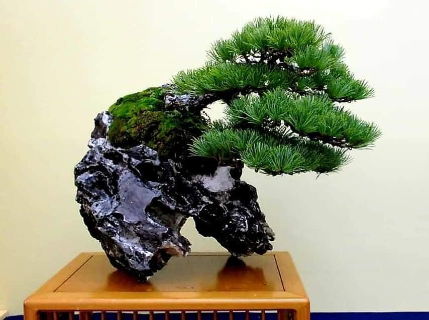 la passion du bonsai - Page 33 78071510