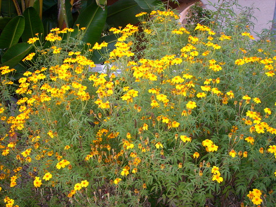 Tagète lemonii 'tangerine marigold' Balboa10