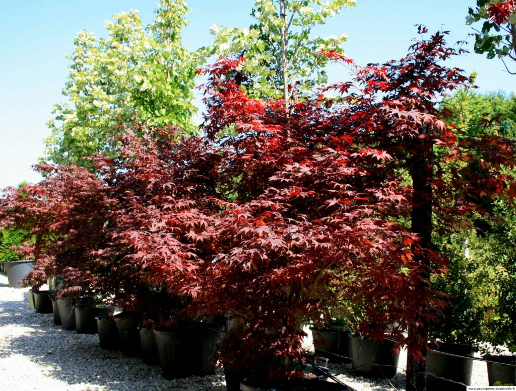 Acer palmatum dissectum 'Inaba Shidare' Cache_10