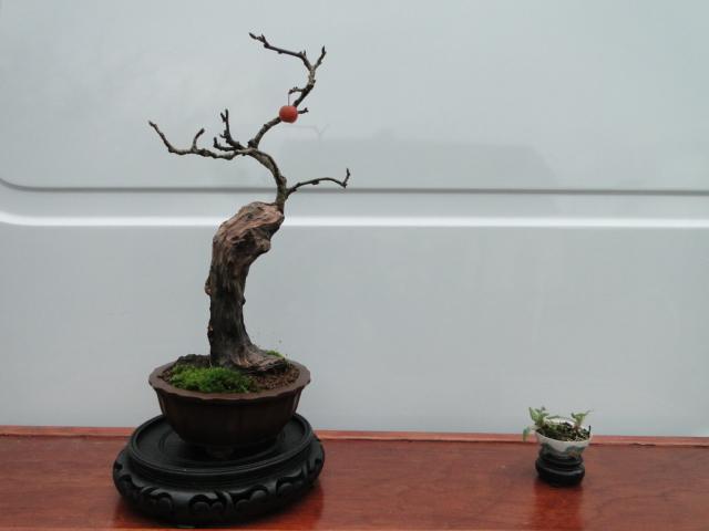 la passion du bonsai - Page 14 Dsc00014