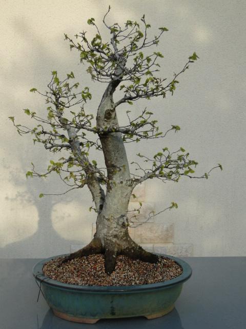 la passion du bonsai - Page 24 Dsc00188