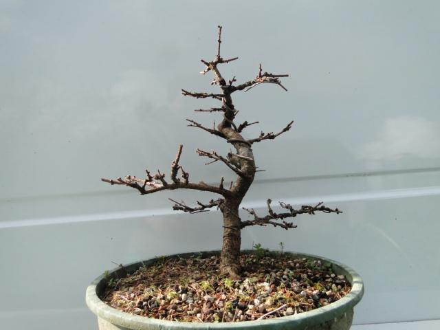 la passion du bonsai - Page 21 Dsc00271