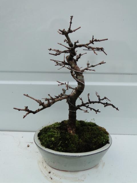 la passion du bonsai - Page 21 Dsc00272