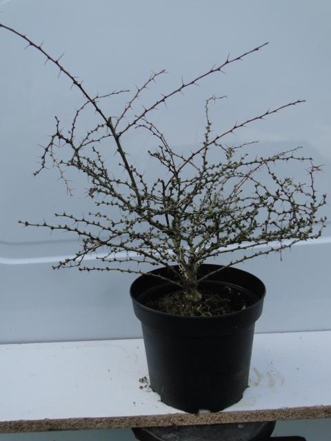 la passion du bonsai - Page 21 Dsc00273