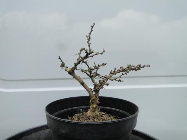 la passion du bonsai - Page 21 Dsc00274