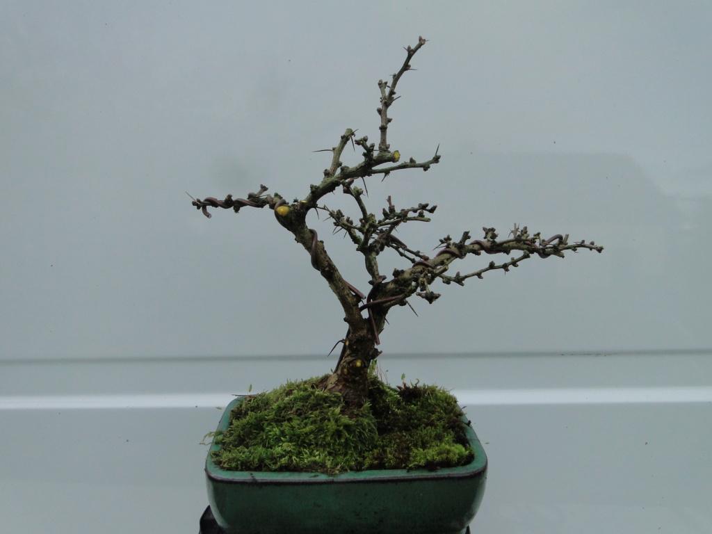 la passion du bonsai - Page 21 Dsc00275