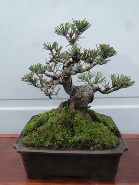 la passion du bonsai - Page 21 Dsc00276