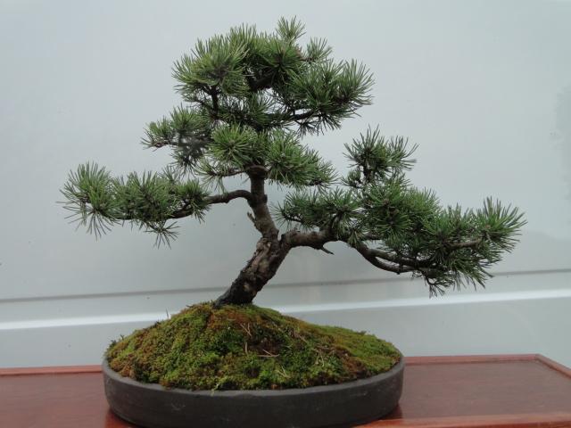 la passion du bonsai - Page 21 Dsc00278
