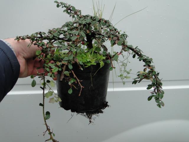 la passion du bonsai - Page 21 Dsc00281