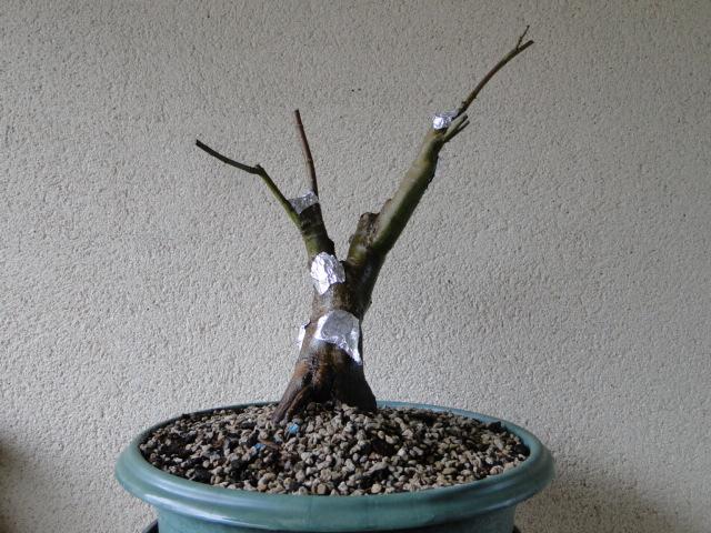 la passion du bonsai - Page 24 Dsc00360