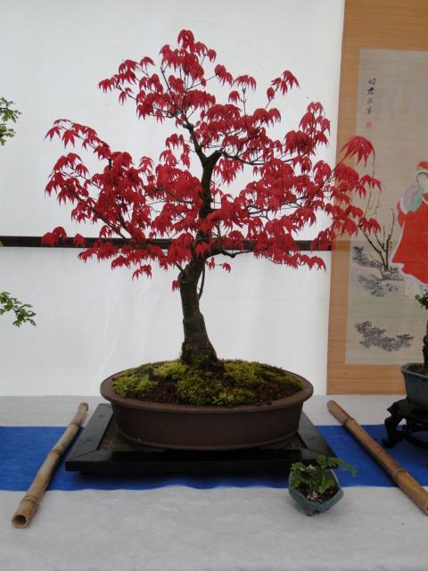 la passion du bonsai - Page 24 Dsc00421