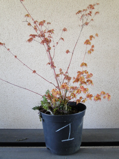 la passion du bonsai - Page 24 Dsc00437