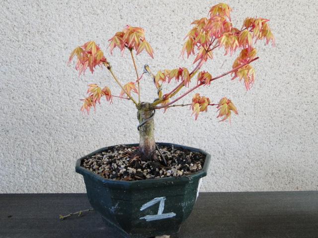 la passion du bonsai - Page 24 Dsc00438