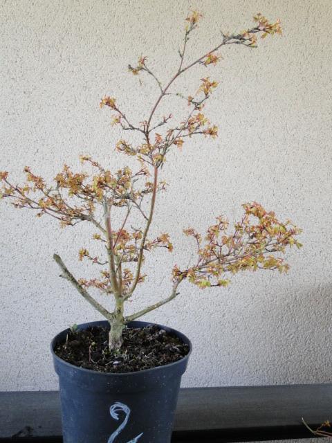 la passion du bonsai - Page 24 Dsc00439