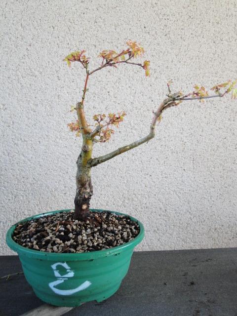 la passion du bonsai - Page 24 Dsc00440