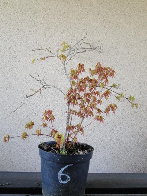 la passion du bonsai - Page 24 Dsc00441