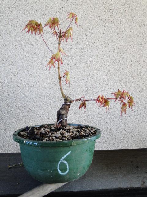 la passion du bonsai - Page 24 Dsc00442