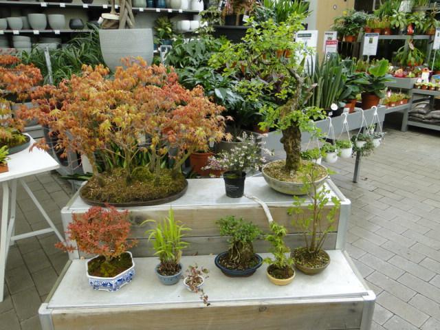 la passion du bonsai - Page 24 Dsc00447