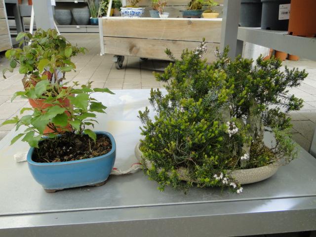 la passion du bonsai - Page 24 Dsc00450