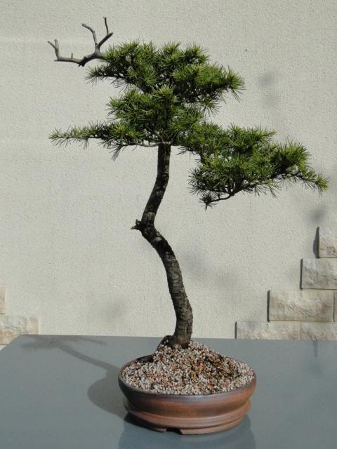 la passion du bonsai - Page 24 Dsc00499