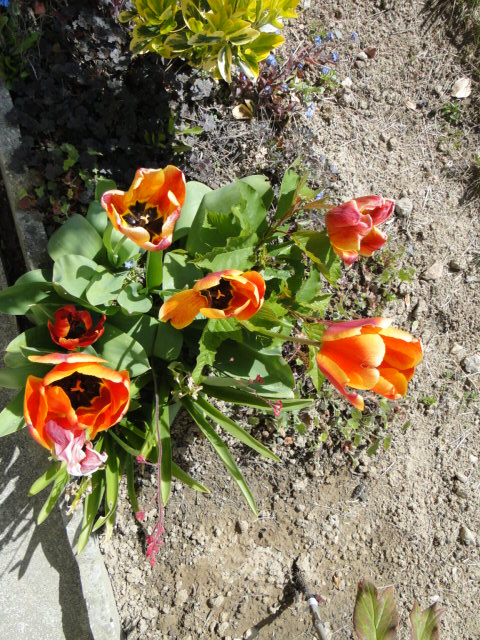 tulipes - Page 16 Dsc00553